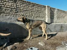 فروش دو قلاده سگ نگهبان و گیرنده در شیپور-عکس کوچک