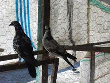 یک جفت کبوتر جوجه دست خودم  در شیپور-عکس کوچک