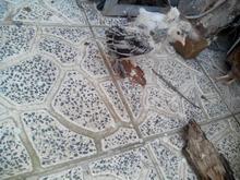 جوجه کاکلی در شیپور-عکس کوچک