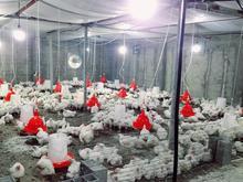 مرغ گوشتی سبز بدون انتی بیوتیک در شیپور-عکس کوچک
