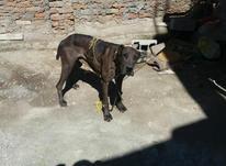 فروش سگ افغان  در شیپور-عکس کوچک