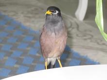 مرغ مینا سخنگو یک ساله در شیپور-عکس کوچک