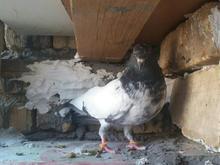 گبوتر پاکستانی معاوضه در شیپور-عکس کوچک