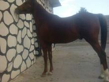 فروش اسب نژاد عرب  در شیپور-عکس کوچک