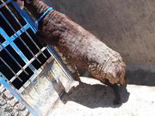 قوچ ترک سرحال  در شیپور-عکس کوچک