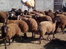 فروش بره میش دوقلوزا هترو در شیپور-عکس کوچک