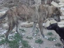 فروش سگ محلی در شیپور-عکس کوچک