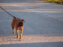 سگ باکسر اصیل در شیپور-عکس کوچک