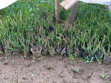گیاه الوئه ورا در شیپور-عکس کوچک