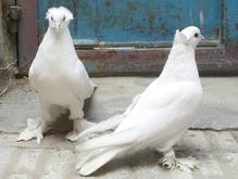 کبوتر زینتی خیلی خیلی مست و زیبا بخارا در شیپور-عکس کوچک