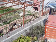 کارگر جهت پلواربندی بره در شیپور-عکس کوچک