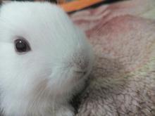 توله خرگوش سفید  در شیپور-عکس کوچک