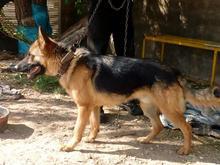 سگ نگهبان ژرمن شپرد در شیپور-عکس کوچک