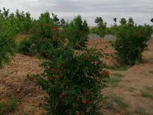 باغ زیبا دارای درخت عناب وانار وپسته 1000 متری در شیپور-عکس کوچک