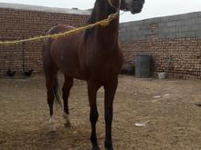 اسب نریون کهر بسیارزیباوپرخون در شیپور-عکس کوچک