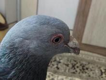 کبوتر سبز المانی  در شیپور-عکس کوچک