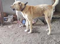 فروش سگ افغان گله ای   در شیپور-عکس کوچک