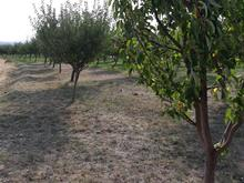 باغ سیب 1950 متری  در شیپور-عکس کوچک