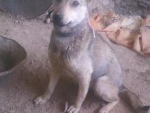 سگ پا کوتاه گم شده در شیپور-عکس کوچک