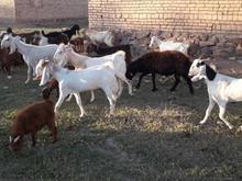 بز پاکستانی زاییده وآبست در شیپور-عکس کوچک