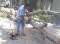 برش هرس قطع انواع درختان در شیپور-عکس کوچک