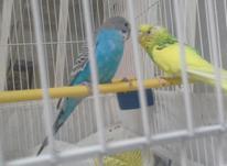 یک جت مرغ عشق دو تا انگشتر ویک سینگ تک قلو در شیپور-عکس کوچک