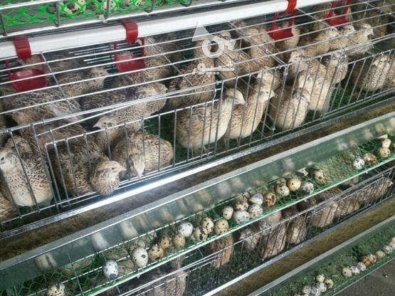 0 تا 100 پرورش بلدرچین گوشتی و تخم گذار در گروه خرید و فروش خدمات و کسب و کار در مازندران در شیپور-عکس1