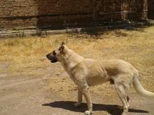 سگ سرابی عالی در شیپور-عکس کوچک