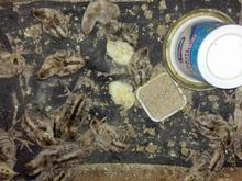 فروش تعداد بیست جوجه قرقاول  در شیپور-عکس کوچک