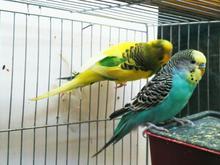 کوتوله و مرغ عشق در شیپور-عکس کوچک
