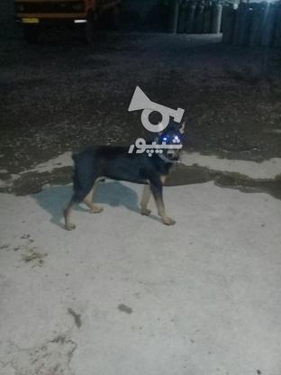 توله سگ دوبرمن نر در گروه خرید و فروش ورزش فرهنگ فراغت در خوزستان در شیپور-عکس1