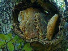 فروش زنبور عسل در شیپور-عکس کوچک