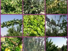 باغ بارده و مثمر ثمر در شیپور-عکس کوچک