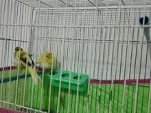 قناری پرنده  در شیپور-عکس کوچک
