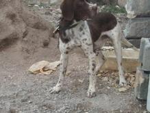 توله سگ شش ماهه  در شیپور-عکس کوچک