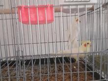 سه جفت مرغ عروس هلندی درجه یک آماده جفتگیری بالغ در شیپور-عکس کوچک