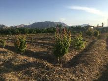 2000 متر باغ سه ساله در شیپور-عکس کوچک