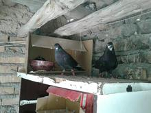 کبوتر سیاه    در شیپور-عکس کوچک