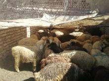 42 عدد بره 59میش 2عدد قوچ نژاد ترک شیرازی  در شیپور-عکس کوچک