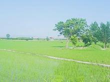 زمین شالیزاری 2000متر  در شیپور-عکس کوچک