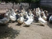 اردک محلی (مگ مگی) ارگانیک درشت در شیپور-عکس کوچک
