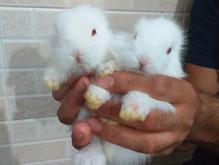 خرگوشهای سفیدبرفی در شیپور-عکس کوچک