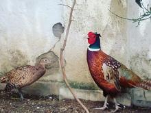 قرقاول نر و ماده در شیپور-عکس کوچک