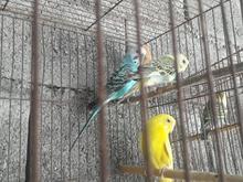 مرغ عشق بالغ در شیپور-عکس کوچک
