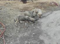 توله سگ محلی  در شیپور-عکس کوچک