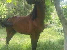 اسب نریان 4ساله در شیپور-عکس کوچک