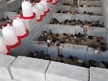 جوجه های گلپایگانی در شیپور-عکس کوچک