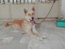 سگ هاسکی نر 18 ماهه اصل در شیپور-عکس کوچک