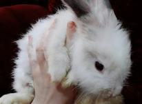 خرگوش لوپ ماده در شیپور-عکس کوچک