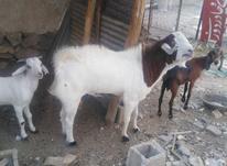 پازن و یه بز عدانی در شیپور-عکس کوچک